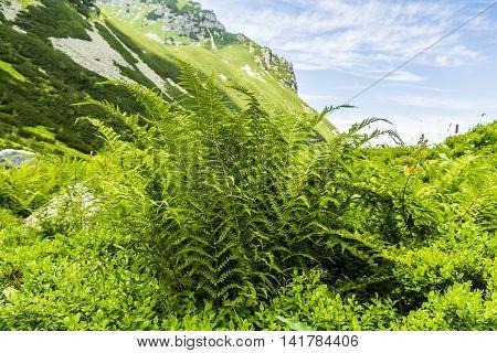 Fern - Athyrium distentifolium (Alpine Lady - fern).