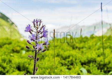 Cicerbita Alpina, Alpine Sow-thistle, Alpine Blue-sow-thistle.