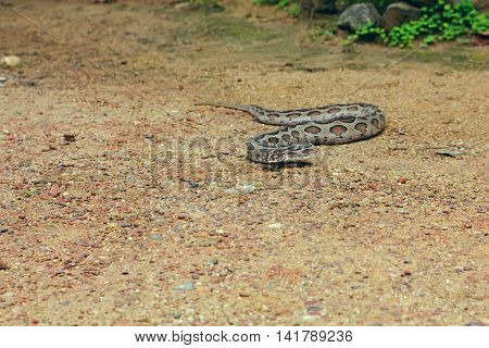 Venomous snake crawling through the sand and trying to bite