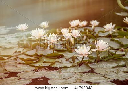Waterlily pond in japan. Summer sunshine and light leaks effect.