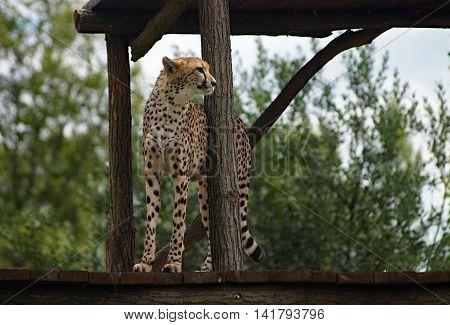Cheetah ( Acinonvx jubatus ) standing guard