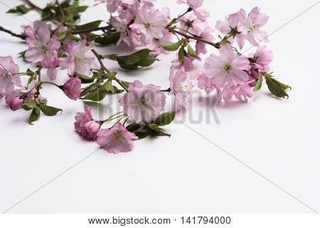 Focus Blurry Aerial View Pink Japanese Prunus Serrulata Branches On White Background