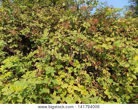 Blackberry on bush in wild nature during day