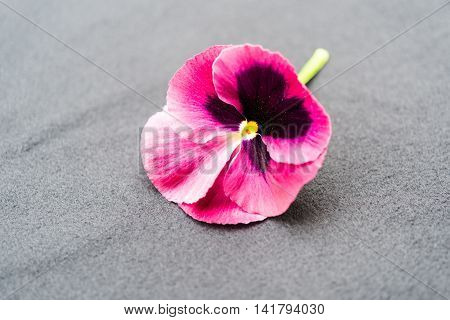 Beautiful Purple Garden Pansy With Green Stem On Grey Background