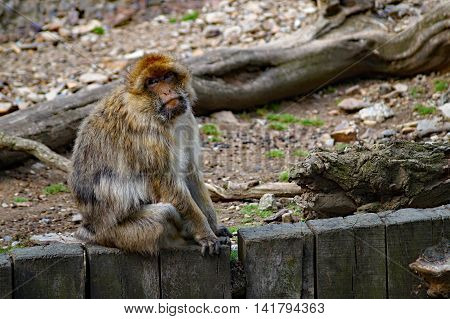 Barbary Macaque Monkey (Macaca sylvanus) Sitting on wooden fence