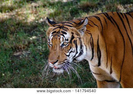Malayan tiger  -  ( Panthera tigris jacksoni)