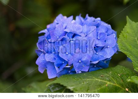Blooming Blue Hydrangea Plant With Green Leaves In Summer Garden