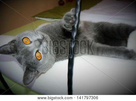 british blue cat (small kitten british cat)