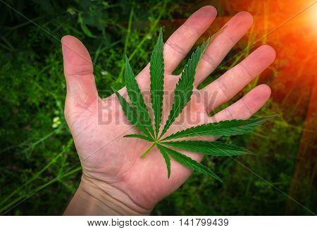 cannabis leaf on the palm. marijuana leaf at sunset