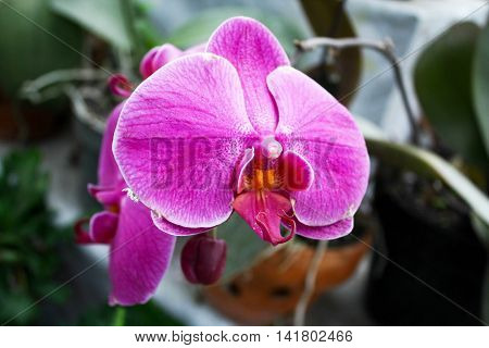Pink orchid phalaenopsis beautiful tropical flower fresh