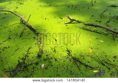 Freshness Green Duckweed and decadent branch of trees