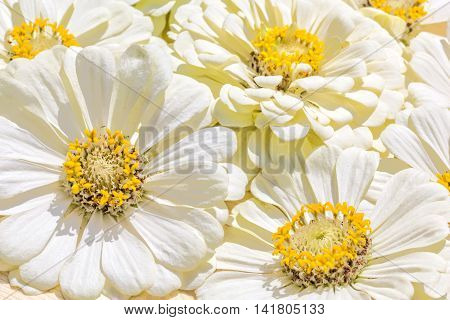 Background from inflorescences of white zinnias macro. Selective focus