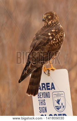 A Northern Harrier looking back from a National Wildlife Refuge sign in New Mexico.