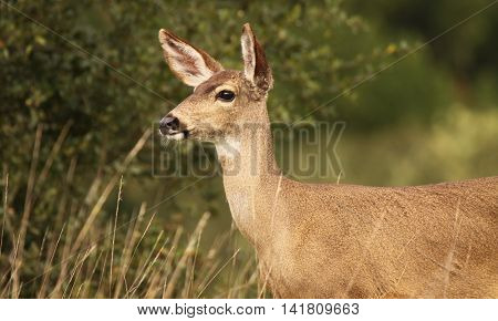 A Female Black-tailed Deer Taking The Long View In A California Field