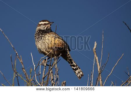 A Cactus Wren looking back from a treetop perch in southern Arizona.