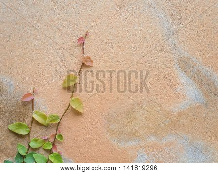 Colorful Ficus Pumila (MORACEAE) vines climbing on orange cement wall with copy space
