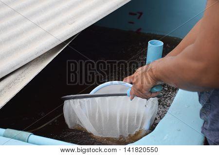 Larval shrimp in plastic bowl. Aquaculture animals.