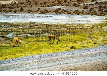 Alpaca grazing in the field at Colorada Laguna Bolivia