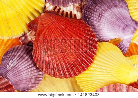 Background of colorful sea shells of mollusk close up .
