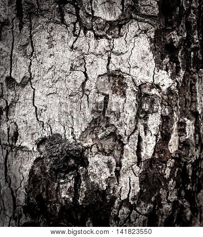 Closeup Beautiful Nature Textured Of Old Wood Background. Bark Background
