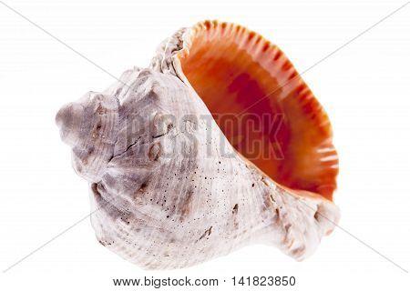 Single sea shell of marine snail isolated on white background .
