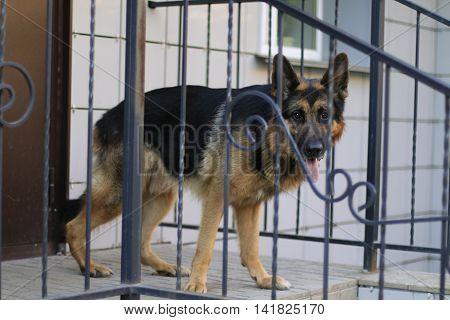German Shepherd Dog Is Nearly Lattice In A Summer Day