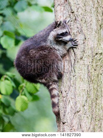 Racoon Climbing A Tree