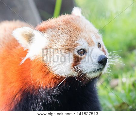 The Red Panda, Firefox Or Lesser Panda
