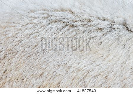 Close-up Of A Polarbear