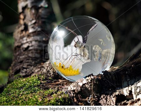 Transparent ball and flip it - butterfly on a flower. Sphere in the woods on moss. The concept of the environment wildlife ecology