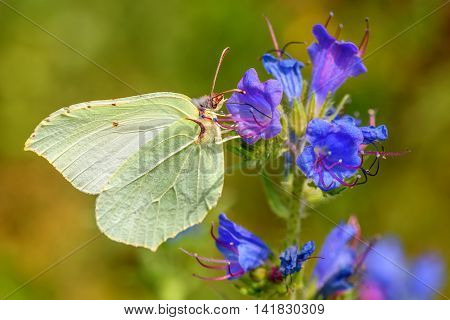 Beautiful natural background with butterfly Gonepteryx rhamni closeup sitting on a blue flower on a blurred background of green grass