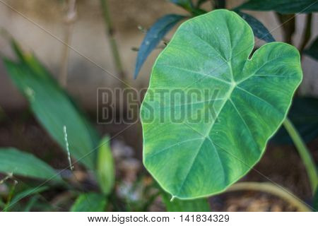 Elephant Ear plant , nature green beauty