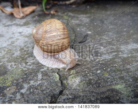 Snail With A Shell On A Grey Tile