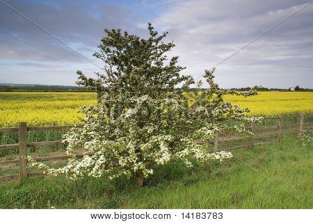 Tree, fence and rape field