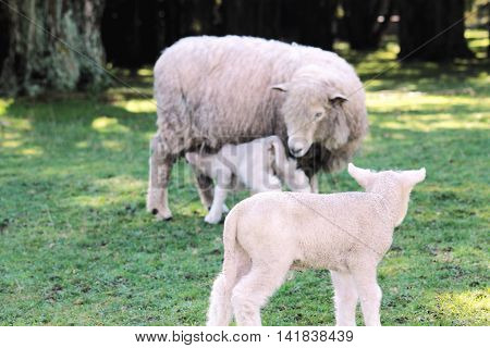 A lamb looks on as a ewe feeds her new born lamb
