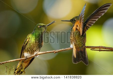 Two fighting hummingbirds at the feeders in Ecuador