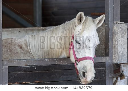 Single White Horse Sleeping