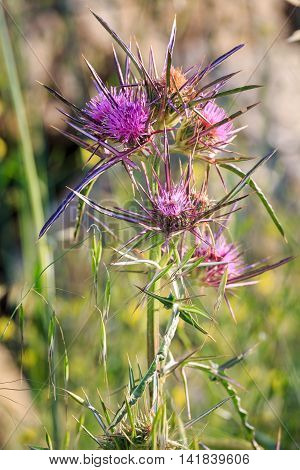 A several blooming pink flowers of thistle
