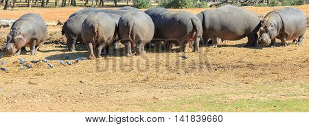 Heap of a hippos is standing together