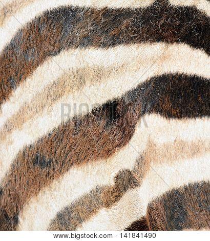 Closeup of striped Zebra fur. Zebra fur texture background.