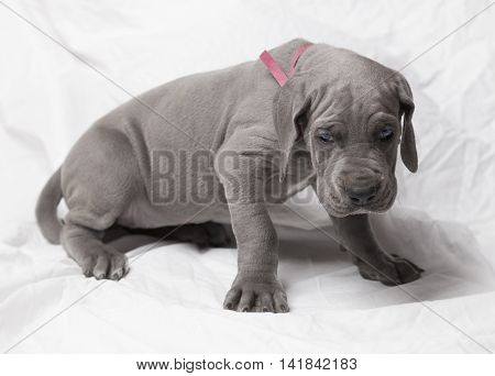 Purebred blue Great Dane puppy that is not too sure about the sheet
