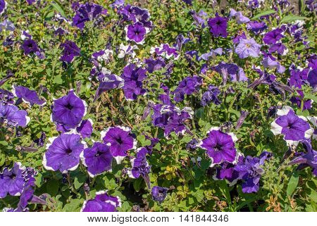 colorful flower purple white petunia in a park - pansies, a beautiful sunny day