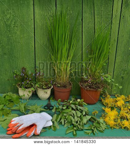 Still life with plants in pot and working gloves, gardening theme, alternative medicine still life with healing herbs