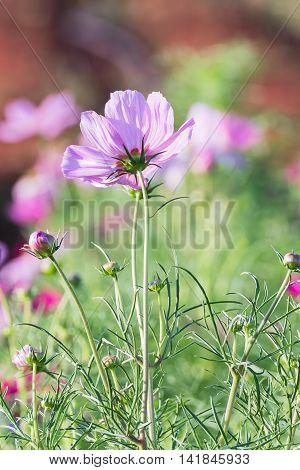 Pink Cosmos Flower In Garden