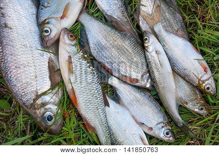 Pile Of Freshwater Silver Bream Or White Bream Fish, Roach Fish, Bleak Fish On Green Grass As Backgr