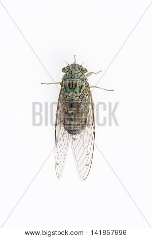 little cicada isolated on a white background