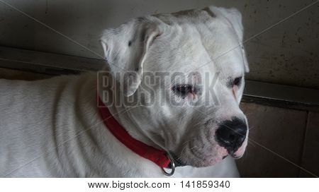 American Bulldog White Male Jax Loyal Protector