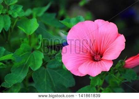 pink Pelargonium dismissed his Bud in urban lawn surrounded by green foliage pleasing to the eye of inhabitants