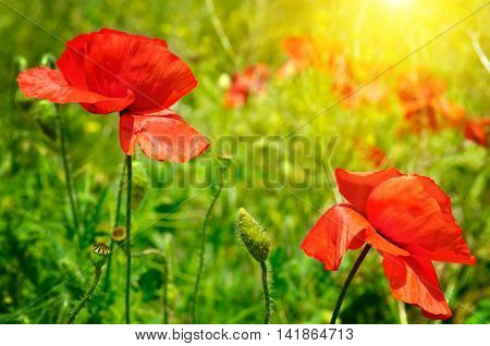 spring field with scarlet poppies and sun