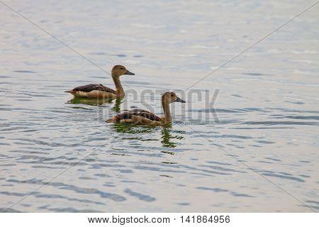 Lesser Whistling-ducks Dendrocygna Javanica
